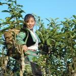 Enfin, on peut citer un dernier partenaire TES : Ecolink, au Vietnam. Son organisation est fondamentalement différente car il s'agit d'une entreprise, et non d'une organisation de producteurs. C'est un 'social-business'[11] spécialisé dans la production et l'export de thé bio de montagne, au Nord du Vietnam. Le but de l'entreprise est de créer des filières durables et viables, dont tout le monde ressort gagnant – du producteur au consommateur. Ecolink souhaite réellement développer une marque locale de qualité. Ainsi, ce qui peut à première vue sembler être un modèle axé sur la rentabilité financière est bien en fait un modèle axé sur la rentabilité sociale et l'impact environnemental.